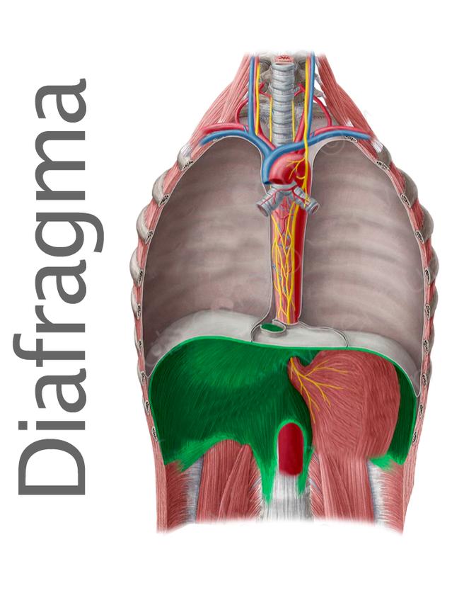 Diafragma y su importancia